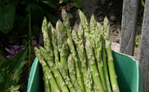 Freshly Harvested Asparagus