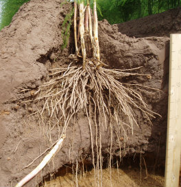 Long asparagus roots