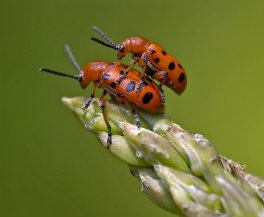 Asparagus beetles mating