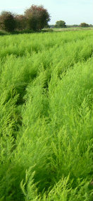 Asparagus Fern Growing in a field