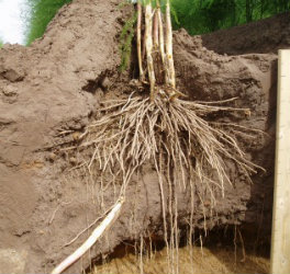 Asparagus Roots growing