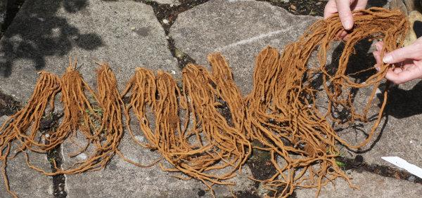Mondeao Asparagus Crowns