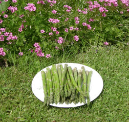 Raw asparagus on plate in the garden