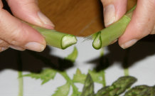 Snapping the Ends off Asparagus