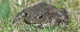 Toad on slug patrol