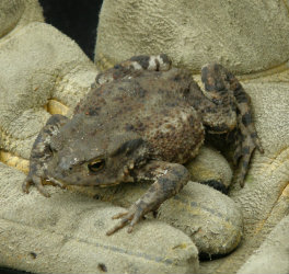 Toad great for eating slugs