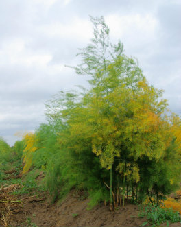 Fully Grown Asparagus Fern