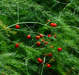 Berries on female asparagus plants