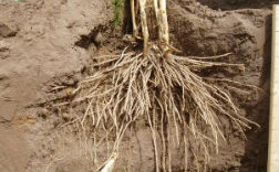 Roots of Growing Asparagus