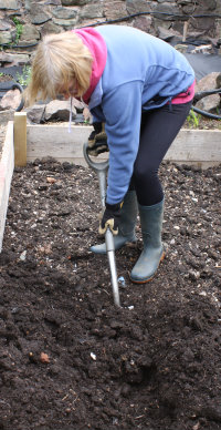 Digging a trench to plant asparagus